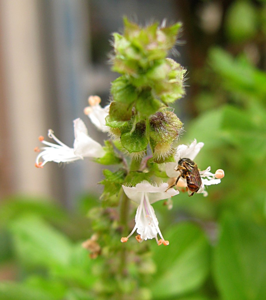 Basil Flower: Edible Flower for a Vegetable Garden