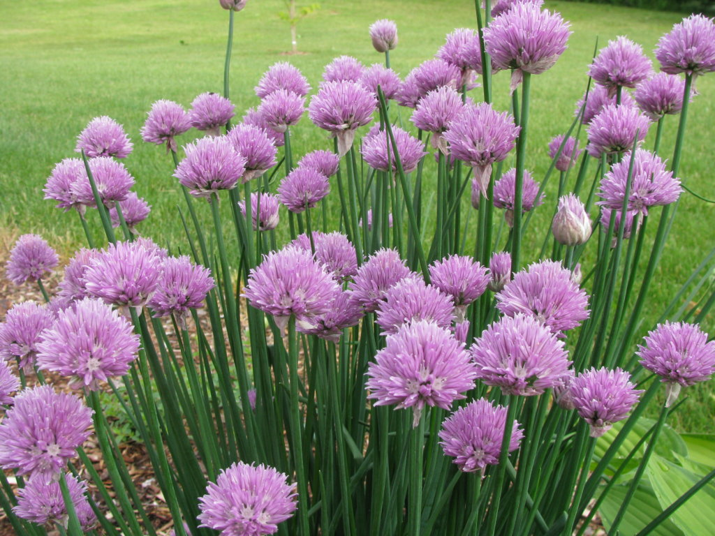 Chive Flowers for Edible Flowers for a Vegetable Garden