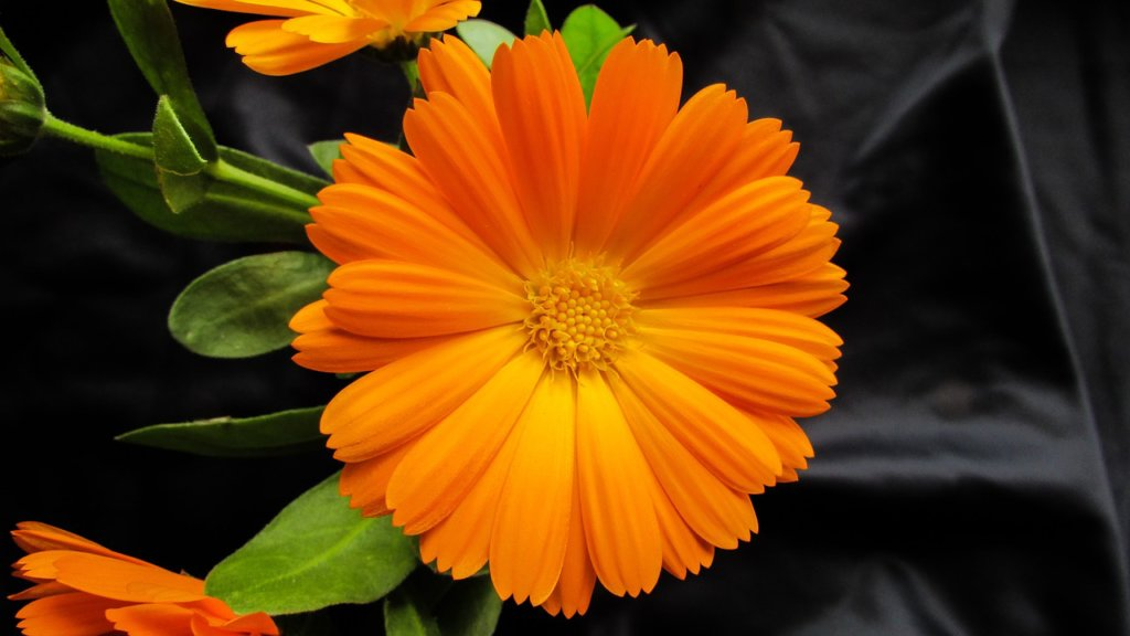 Edible Flowers for a Vegetable Garden: Calendula