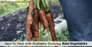 How to Deal with Problems Growing Root Vegetables