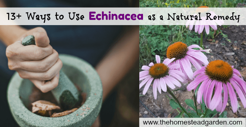 13+ Ways to Use Echinacea as a Natural Remedy