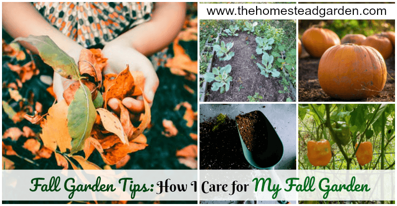 Fall Garden Tips: How I Care for My Fall Garden