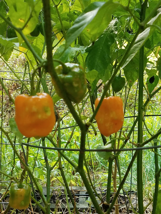Fall Garden Tips: Habaneros