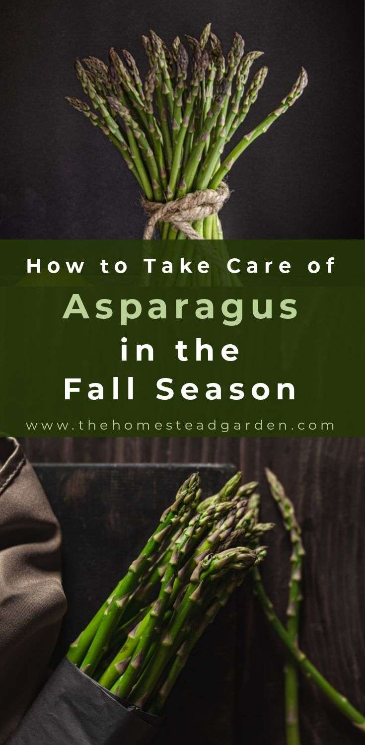 How to Take Care of Asparagus in the Fall Season