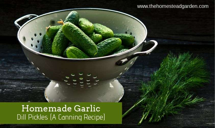 Homemade Garlic Dill Pickles (A Canning Recipe)