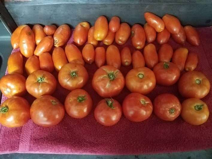 Harvest Overwhelm: One day's worth of tomatoes