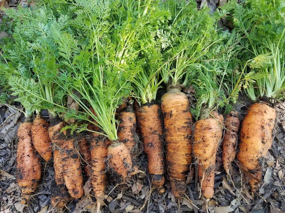 The Homestead Garden Successful Carrot Harvest