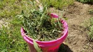 How to Prevent Weeds: Bucket of Weeds