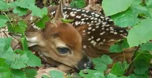 Tips for Keeping Deer Out of Your Garden: Fawn in Our Woods