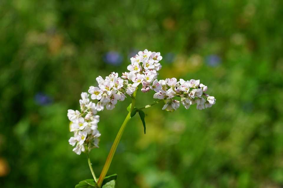 Reasons Why You Should Grow Buckwheat in Your Vegetable Garden