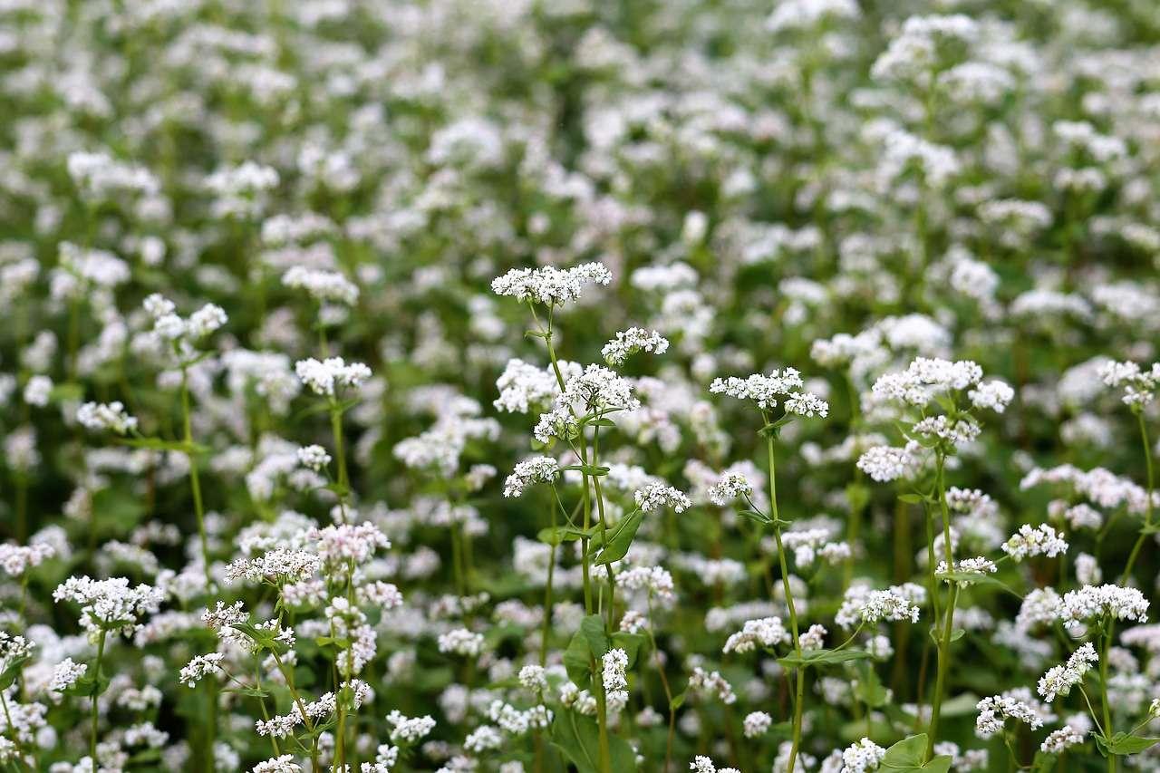 Reasons Why You Should Grow Buckwheat in the Garden