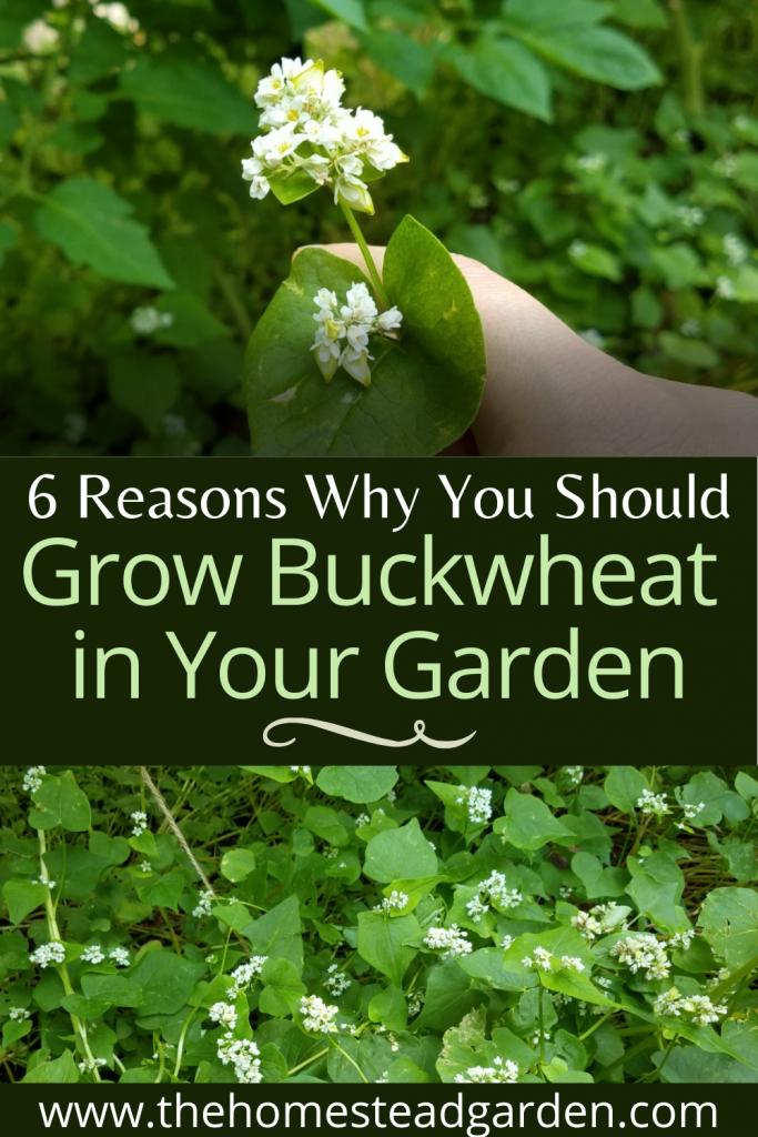 Reasons Why You Should Grow Buckwheat in Your Garden
